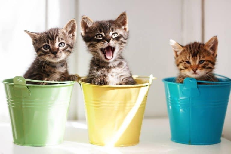 חינוך גורי חתולים