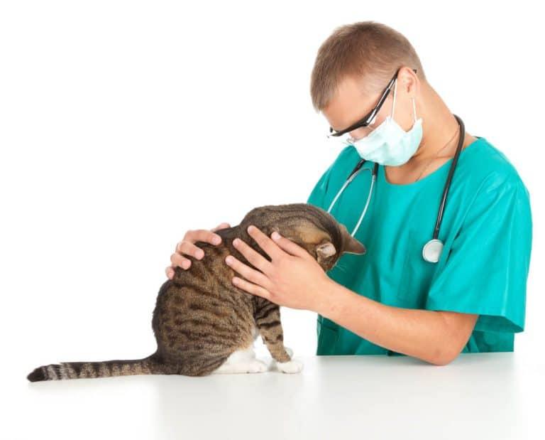תילוע לחתול